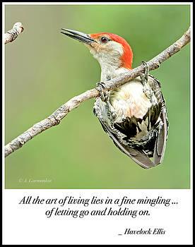 Red-bellied Woodpecker, Male, Hanging on Tree Branch by A Gurmankin
