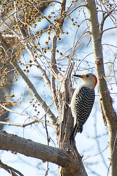 Red-Bellied Woodpecker by Nathan Hillis