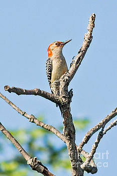 Red Bellied Woodpecker Summer by Natural Focal Point Photography