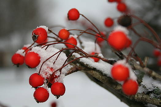 Red Berries by Susie DeZarn