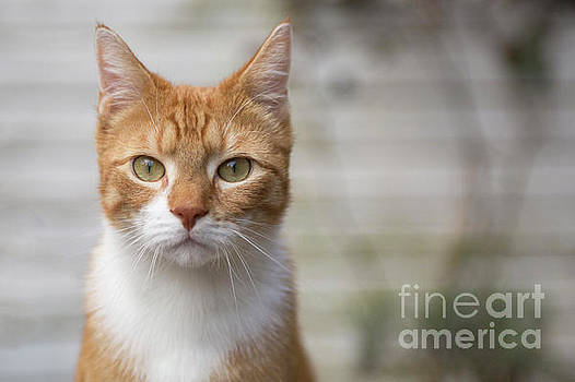 Red cat looking at you by Patricia Hofmeester
