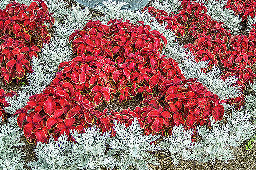 Red Coleus and Dusty Miller Plants by Sue Smith