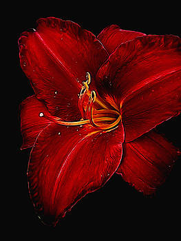 Cindy Boyd - Red Day Lily on Black