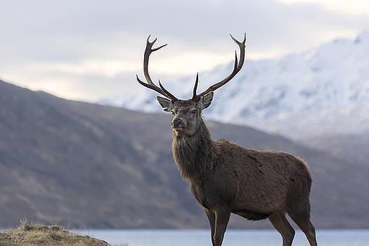 Red Deer Stag in Highland Scotland by Derek Beattie