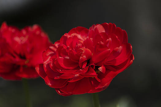 Red Double Tulip by Mark Michel