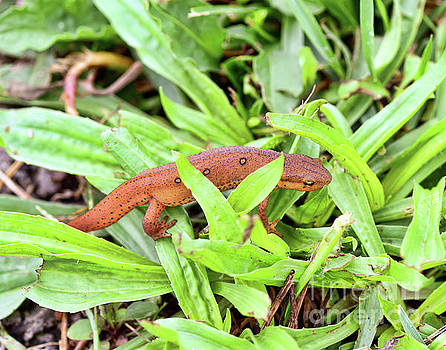 Red Eft In The Grass by Kerri Farley
