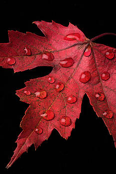 Red Fall Leaf With Dew by Garry Gay