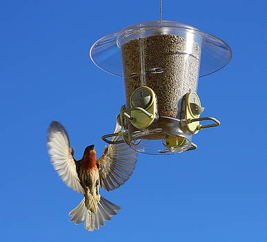 Red Finch And Feeder by Barbara Teller