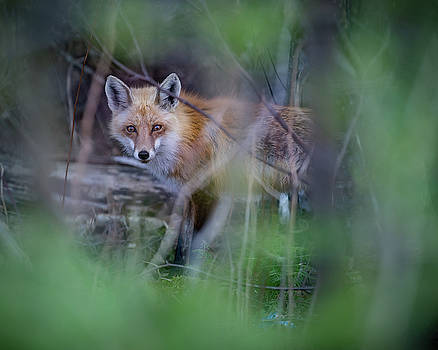 Red Fox in spring by Jakub Sisak