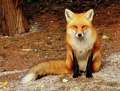 Red Fox by Jay Mudaliar