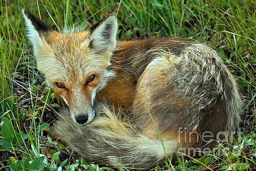 Adam Jewell - Red Fox Nap