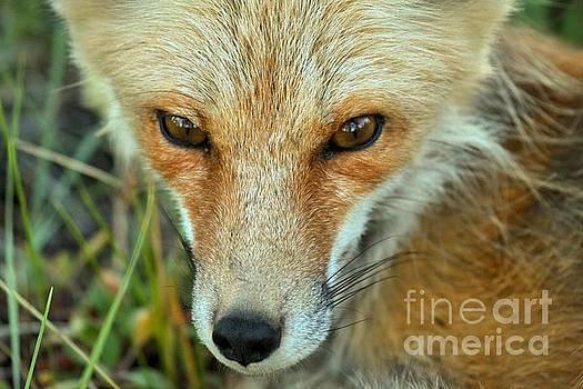 Adam Jewell - Red Fox Soft Eyes