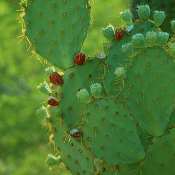 Heather Kirk - Red Fruit Edged Prickly Pear