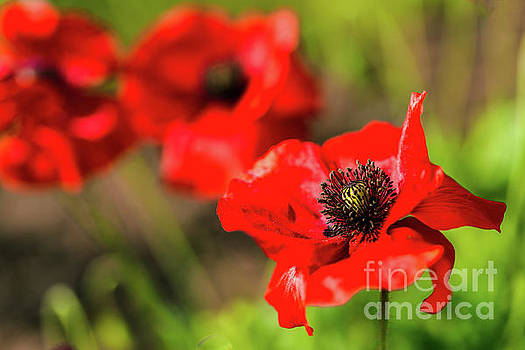 Red Garden Poppies by Verena Matthew
