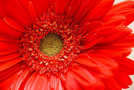 Red Gerbera Daisy by Rob Byron