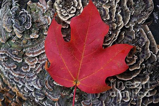 Red Leaf  by John S