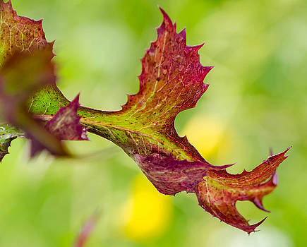 Red Leaf with green background by Don L Williams