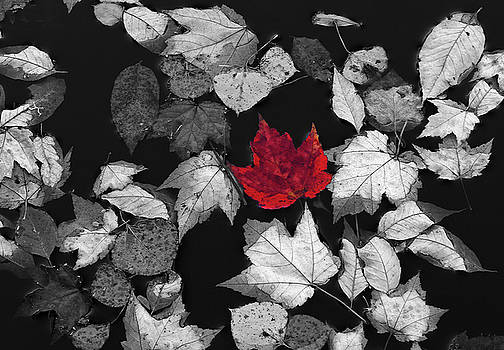Red Maple Leaf by Juergen Roth