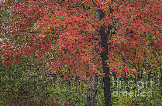 Red Maple Tree by Tamara Becker
