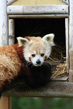 Red Panda #2 by Judy Whitton