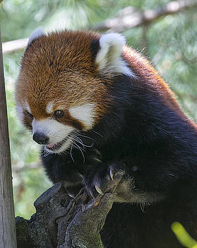 Red panda by Michel DesRoches