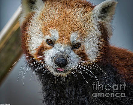 Red Panda Portrait by Mitch Shindelbower