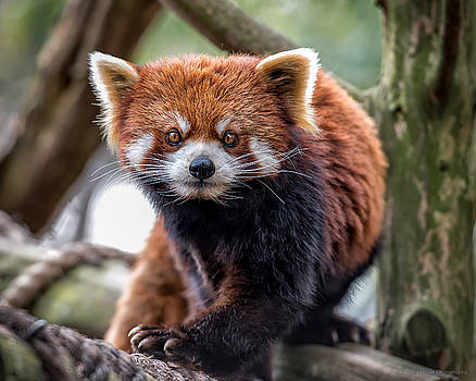 Red Panda v2.0 by Phil Abrams