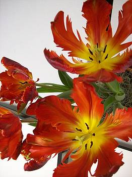 Red Parrot Tulips by Sandy Collier