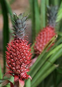 Sabrina L Ryan - Red Pineapples