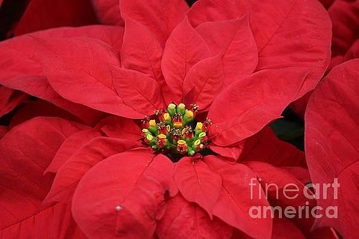 Red Poinsettia for Christmas by Dora Sofia Caputo Photographic Art and Design
