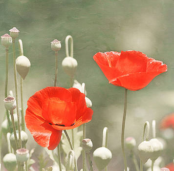 Kim Hojnacki - Red Poppies