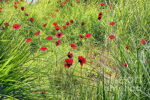 Red Poppy Flowers on a Grassy Knoll by George Oze