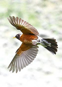 Red Robin in Flight by Amy G Taylor