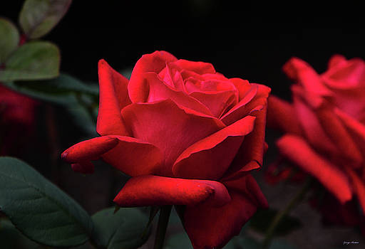 Red Rose 014 by George Bostian