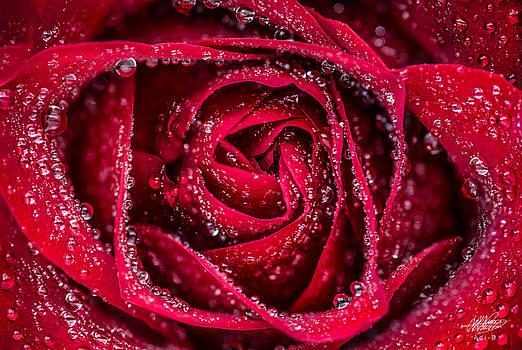 Red Rose by Adnan Bhatti