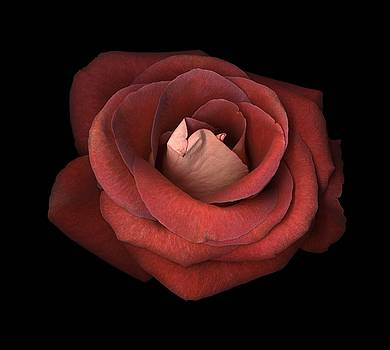 Red Rose by Test