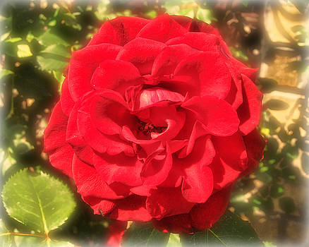 Red Rose by Victor Montgomery