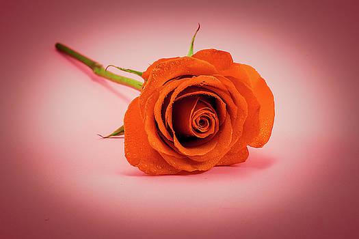 Red Rose - Vignette by Greg Thiemeyer