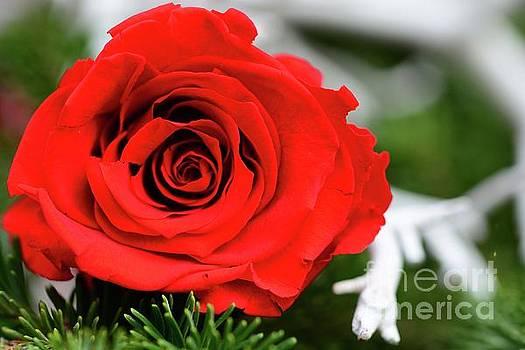 Red Rosie by Cindy Manero
