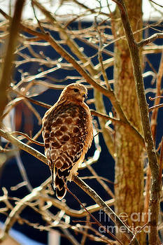 Red Shouldered Hawk by Kelly Nowak