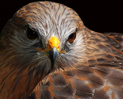 Red-shouldered Hawk by Lorenzo Cassina