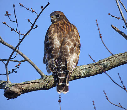 Red-shouldered Hawk by Robert Geary