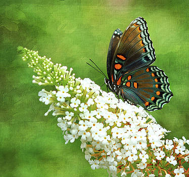 Red-Spotted Purple Admiral Butterfly 2 by Vicki McLead