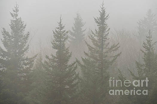 Red Spruce in Mist by Thomas R Fletcher