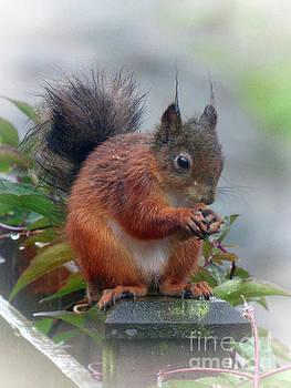 Red Squirrel in the Rain by Lynn Bolt