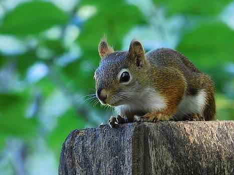 Red Squirrel Ohio by Nancy Spirakus