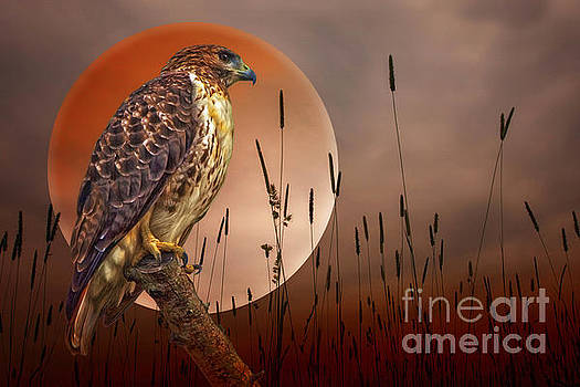 Red Tail Hawk At Rest by Tom York Images