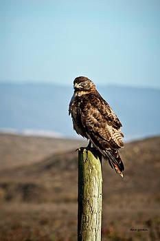 David Gordon - Red tail Hawk I color