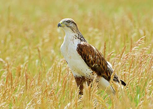 James Steele - Red Tail Hawk