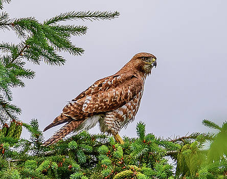Red Tail Hawk by Jerry Cahill